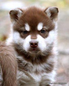 Saphira  Koda   Alaska Malamute Puppies