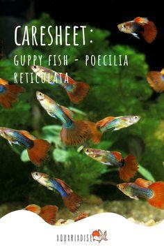 Freshwater Aquarium, Aquarium Fish, Fish Care, Guppy, Colorful Fish, Fresh Water, Knowledge, Fancy, Popular