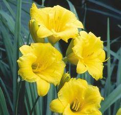 Hémérocalle Stella D'Oro jaune