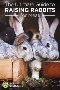 Rabbit is a reliable meat source for people who raise their own food. Learn how to raise rabbits for meat in this article.