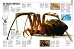 The Makings of a Predator - Kids Discover Spiders