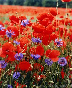 red poppies (Papaver rhoeas) and purple cornflowers (Centaurea cyanus).