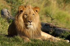 wild Lion Pictures | lions in captivity tend to be larger than the lions in the wild lion ...