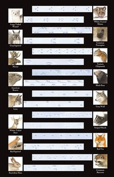 Use our handy chart to identify animal tracks you see in the snow when you're out on your next nature walk. Winter Activities, Science Activities, Nature Activities, Animal Tracks In Snow, Animal Footprints, England Winter, Sight Word Flashcards, Outdoor Education, Girls Camp