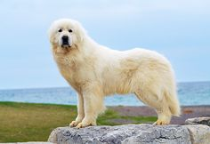 DOG 01 MA0282 01 © Kimball Stock Great Pyrenees Standing On Rock By Water