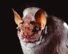 bat face - Google Search