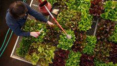 Strategies for lettuce success.  Rodale's Organic Gardening.