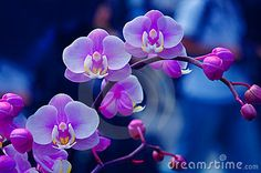 close up of orchid flowers and buds