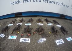 All our public sponsored lobsters lined up and ready to go back into the sea