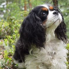 I pinned this because. awwwwww cute :D Cavalier King Charles, King Charles Dog, King Charles Spaniel, Cute Puppies, Cute Dogs, Animals Beautiful, Cute Animals, King Spaniel, All Gods Creatures