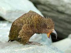 Bildergebnis für keas in Neuseeland