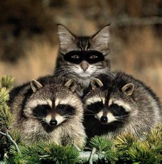 A funny cat picture of the feline wearing a mask and pretending to be a raccoon, and see other humorous domestic animals like this kitty comedy pic. I Love Cats, Crazy Cats, Cute Cats, Animals And Pets, Funny Animals, Cute Animals, Funny Raccoons, Anime Animals, Animals Photos