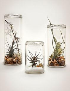 Things Nobody Tells You About Air Plants Available in three sizes a Classic Aerium kit is a modern glass vessel and contains a mixture of natural materials such as sand m. Mini Terrarium, Air Plant Terrarium, Terrarium Ideas, Garden Terrarium, Air Plant Display, Plant Decor, Air Plants, Indoor Plants, Indoor Herbs