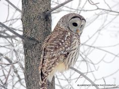 Barred Owl taking in the scenery!