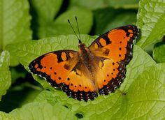 The Gaudy Commodore (Precis octavia) is a species of butterfly in the Nymphalidae family. The southern subspecies (Precis octavia sesamus) has a summer form (natalensis) which is red with black markings.This butterfly is  native to Africa.