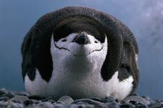 Chinstrap Penguin-not its best angle