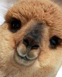 Blue Moon Ranch Alpacas...pretty smile. What a cute face!