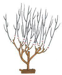 Hibiscus Schnitt schneiden: Verjüngungsschnitt: Triebe um zwei Drittel einkürzen (später Winter)