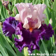 Tall Bearded Iris 'Fashion Magic'