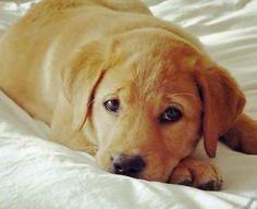 Jake the Labrador Retriever