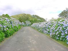 Estrada típica dos Açores, caminhos de hortências, na Ilha Terceira, Açores, Portugal. Fotografia de José Luís Ávila Silveira e Pedro Noronha e Costa.  – Wikipédia, a enciclopédia livre.