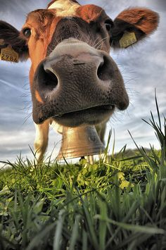 Wide angle cow photo :) smiles