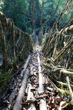 200 years old root bridges in Meghalaya subtropical forests, India (by sidetrekked).