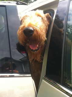 Airedale Terrier. I love their big black noses!!