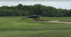 Someone Filmed A Ginormous Alligator Casually Walking Across A U.S. Golf Course - BuzzFeed News