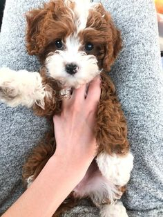 My new pup, Lady! Super Cute Puppies, Cute Dogs And Puppies, Baby Dogs, Cavapoo Puppies For Sale, Cockapoo Puppies, Mixed Breed Puppies, Baby Animals, Cute Animals, Dog Lady