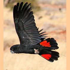 Red Tailed Black Cockatoo....