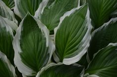 Hosta | Flickr - Photo Sharing!