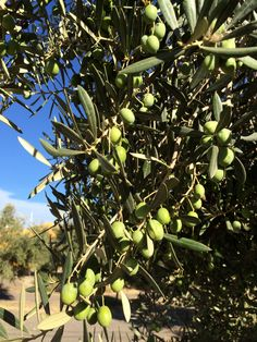 Lechin olives in september, the harvest soon!!