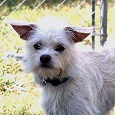 German Shepherd Dog Dog For Adoption In Waco Tx Adn 597174 On