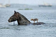 Little dog catches lift with horse friend...I'd love to know the story behind this photo!