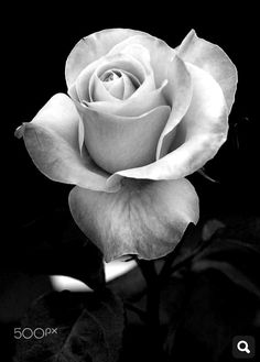 Thinking of trying out some black and grey work starting with some roses Will do some for (which is minimum charge) each while I get started 👀 Black And White Roses, Grey Roses, Pop Art Wallpaper, Flower Wallpaper, Rose Reference, Rose Flower Tattoos, Rose Photography, Black And Grey Tattoos, Beautiful Roses