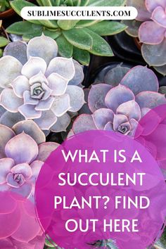 What makes a succulent different from other types of plants? As succulents continue to grow in popularity, more gardeners are wondering what makes their favorite fat plants stand out from the crowd. Succulents differ from other types of plants in terms of both physical characteristics and environmental needs. These distinctive features make succulents and cacti unique in the world of plants. Find more interesting facts about succulent plants on this pin! #succulents #cacti #indoorgardening Succulent Care, Cacti And Succulents, Cactus Plants, Flowering Succulents, Planting Succulents, Succulent Species, Cactus Care, The More You Know, Types Of Plants
