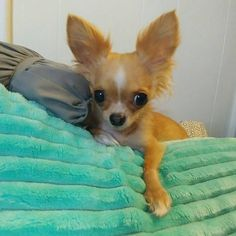 Effective Potty Training Chihuahua Consistency Is Key Ideas. Brilliant Potty Training Chihuahua Consistency Is Key Ideas. Cute Chihuahua, Chihuahua Puppies, Dogs And Puppies, Chihuahuas, I Love Dogs, Cute Dogs, Pitbull Terrier, Little Dogs, Beautiful Dogs