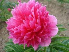 Brooks Gardens Peonies — Peonies Rosea Plena growing at Brooks Gardens peony farm