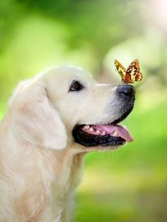 A pretty butterfly on an adorable lab puppies nose.