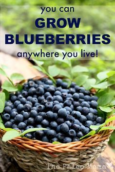 You Can Grow Blueberries -tips and ideas for growing blueberries in any climate and any garden type from containers to permaculture! Fruit Garden, Edible Garden, Garden Plants, Box Garden, Garden Beds, House Plants, Growing Vegetables, Growing Plants, Growing Fruit Trees