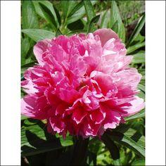 40. Paeonia lactiflora Rosea Plena (luktpion)