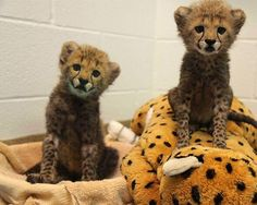 Adorable cheetah cubs