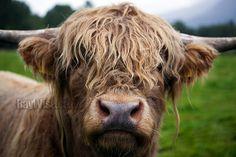 highland cattle- so cute!!!