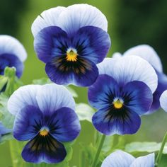 PANSY BLUE JEANS F1