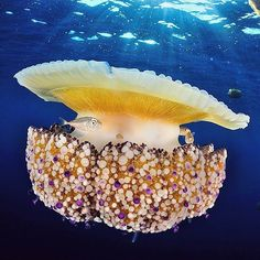 Photo by © @davidantoja Cotylorhiza tuberculata is a species of jellyfish, also known as the…""