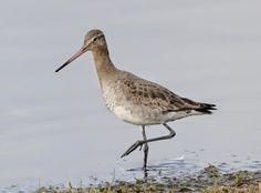 Another Bird Blog: Headstarting   The species is Black-tailed Godwit, in this case the subspecies that occurs in the British Isles, Western and Eastern Europe, the 'nominate' race Limosa limosa limosa.