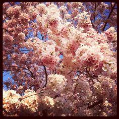 DC Cherry Blossoms!