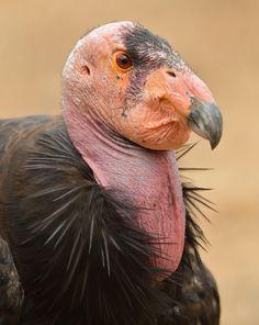 California condor portrait by Mike Wilson