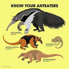 Know Your Anteaters design by Peppermint Narwhal. • Millions of unique designs by independent artists. Find your thing.